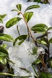 发芽通过雪的小绿色灌木在春天 免版税图库摄影
