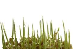 发芽麦子的生长种子 图库摄影