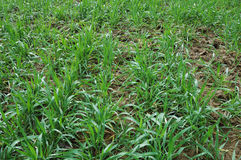 发芽麦子 免版税库存图片
