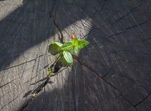 发芽从一个老树桩的新芽 免版税图库摄影