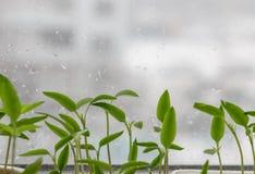 发芽从在被弄脏的都市背景的种子的小植物 库存图片