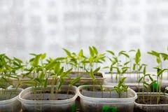 发芽从在被弄脏的都市背景的种子的小植物 免版税库存图片