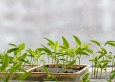 发芽从在被弄脏的都市背景的种子的小植物 图库摄影