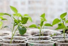 发芽从在被弄脏的都市背景的种子的小植物 免版税库存照片