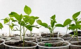 发芽从在被弄脏的织地不很细背景的种子的小植物 库存图片