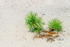 发芽从沙子的杉木 库存图片