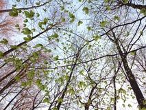 发芽绿色叶子 免版税库存图片