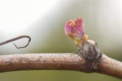 发芽从葡萄树的新的成长 库存照片