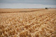 发茬和谷壳在被收获的玉米调遣 免版税库存图片