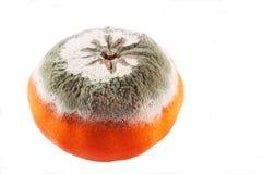 发霉的桔子 免版税库存图片