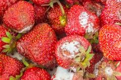 发霉的草莓 库存照片