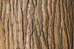 取暖一棵大的树的吠声在阳光下 库存图片