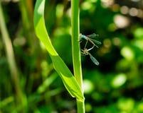 取暖两只的蜻蜓在阳光下 免版税库存图片
