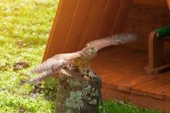 取暖俘虏茶隼的鸟画象坐与传播的翼的一个树桩和在阳光下 图库摄影