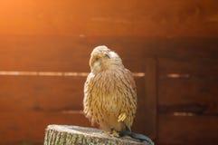 取暖俘虏茶隼的鸟画象坐与被缩拢的脚的一个树桩和在阳光下 库存图片