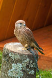 取暖俘虏茶隼的鸟画象坐与被缩拢的脚的一个树桩和在阳光下 免版税库存图片