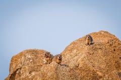 取暖几只岩石的非洲蹄兔在阳光下 免版税库存图片