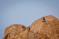 取暖几只岩石的非洲蹄兔在阳光下 免版税库存照片