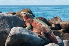 取暖加拉帕戈斯的海产鬣蜥蜴在阳光下。 免版税库存图片