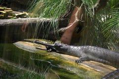 取暖在佛罗里达动物园里的Gharial鳄鱼 库存照片