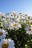 取暖在夏天太阳的大雏菊 库存图片