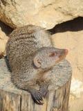 取暖在夏天太阳的猫鼬在一个动物园里在埃福特 动物& x22; 密林Book& x22;R kipling的 免版税库存图片