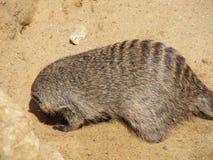 取暖在夏天太阳的猫鼬在一个动物园里在埃福特 动物& x22; 密林Book& x22;R kipling的 库存图片