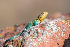 取暖在太阳的东部抓住衣领口的蜥蜴 免版税库存图片