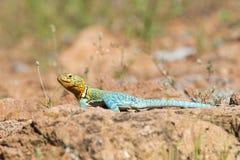 取暖在太阳的抓住衣领口的蜥蜴 免版税图库摄影