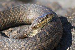 取暖在岩石的北水蛇Nerodia sipedon sipedon 库存照片