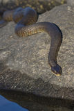 取暖在岩石的北水蛇Nerodia sipedon sipedon 图库摄影