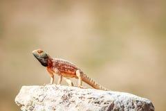 取暖在岩石的地面蜥蜴 库存照片