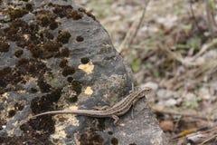 取暖在岩石的小的蜥蜴 免版税库存图片