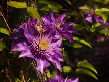 取暖在平衡的太阳的紫色铁线莲属 图库摄影