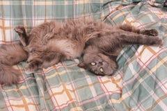 取暖在床上的淘气灰色猫 库存照片