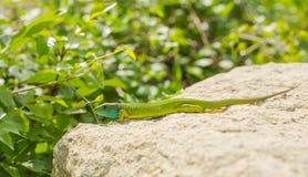 取暖在废墟的少年东部绿蜥蜴 免版税图库摄影