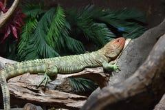 取暖在日志的凯门鳄蜥蜴 免版税库存照片
