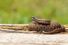 取暖在木板条的少年蝰蛇属berus 免版税库存照片
