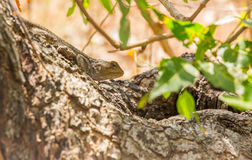取暖在树的青带头的蜥蜴 免版税库存照片