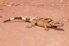 取暖在沙漠太阳的蜥蜴 免版税库存照片