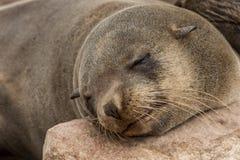 取暖在海角十字架,纳米比亚的海狗 库存图片