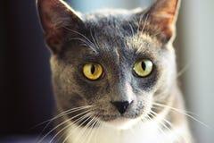 取暖在温暖的太阳的逗人喜爱的灰色猫 免版税图库摄影