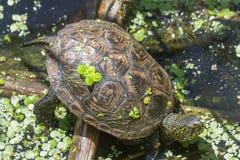 取暖在湖岸的阳光下的乌龟 库存照片