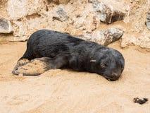 取暖在阳光下与在最基本的海岸纳米比亚,非洲的闭合的眼睛的小海豹 库存图片
