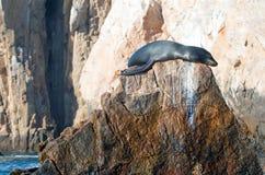 取暖在阳光下在土地Los卡约埃尔考斯End†的加利福尼亚海狮在Cabo圣卢卡斯 免版税库存照片