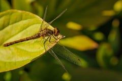 取暖在阳光下,与翼的蜻蜓今后扇动了 免版税图库摄影