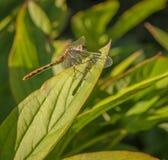 取暖在阳光下,与今后翼的蜻蜓 图库摄影