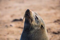 取暖大的海狗在阳光下 免版税库存图片
