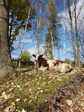 取暖妈妈的母牛在阳光下 免版税库存照片