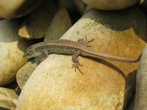 取暖小的绿蜥蜴爬行在岩石和在阳光下 免版税库存照片